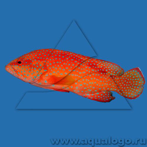Групер красный коралловый