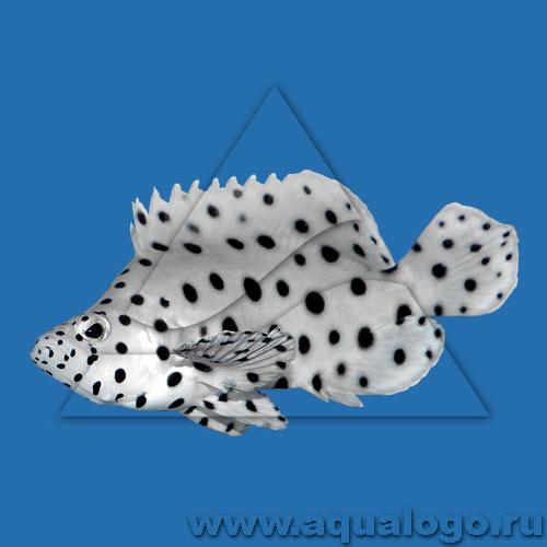 Групер леопардовый