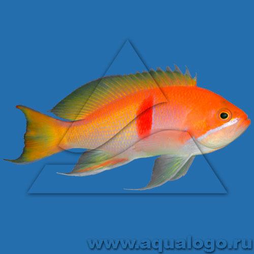 Антиас трехцветный (рубризонатус)