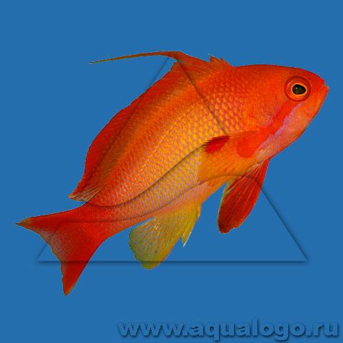 Антиас лирохвостый голубоглазый (самец)