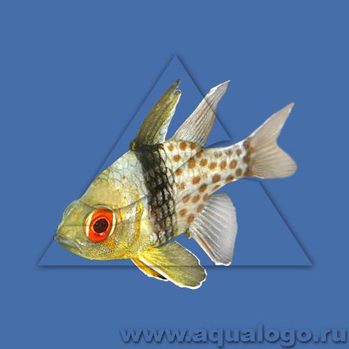 Сферомия пятнистая (Желтый апогон-бабочка)