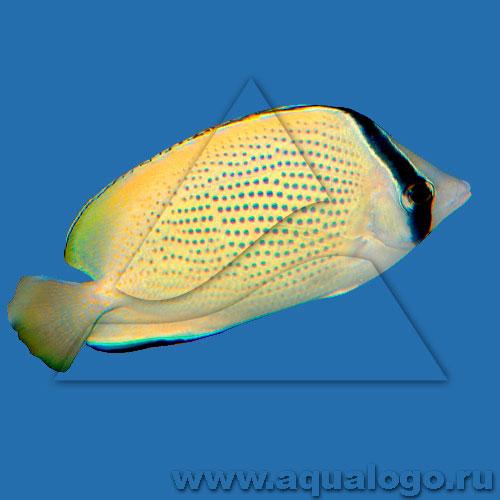 Бабочка лимонная крапчатая