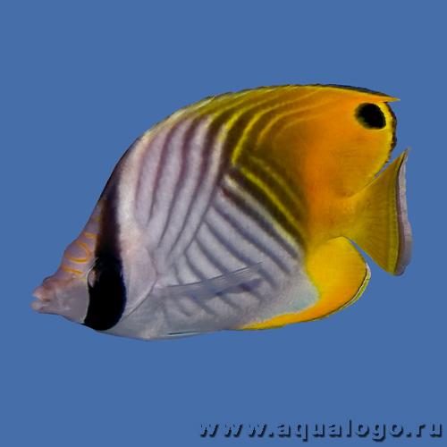 Бабочка клинополосая (аурига, нитеперая)