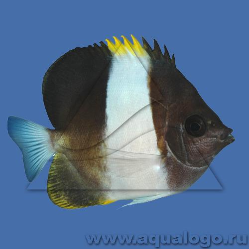 Бабочка гемитаурихт трехцветный (щетинкозубый)