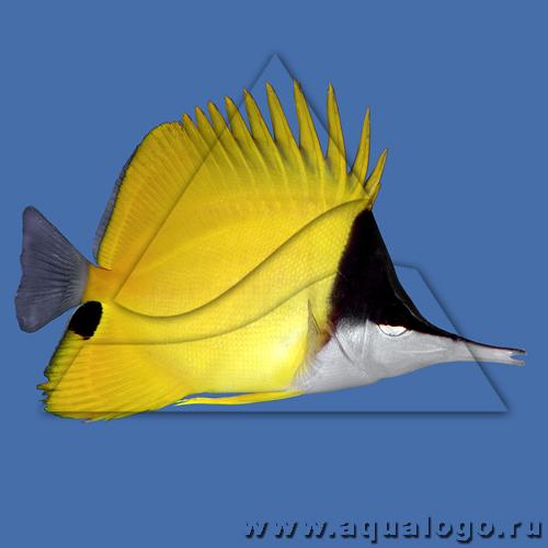 Бабочка пинцет желтая