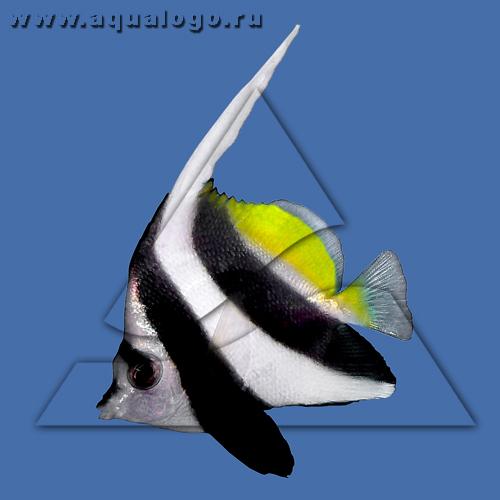 Бабочка вымпельная белоперая