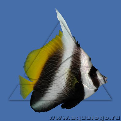 Бабочка вымпельная сингулярис (филиппинская оранжевохвостая)