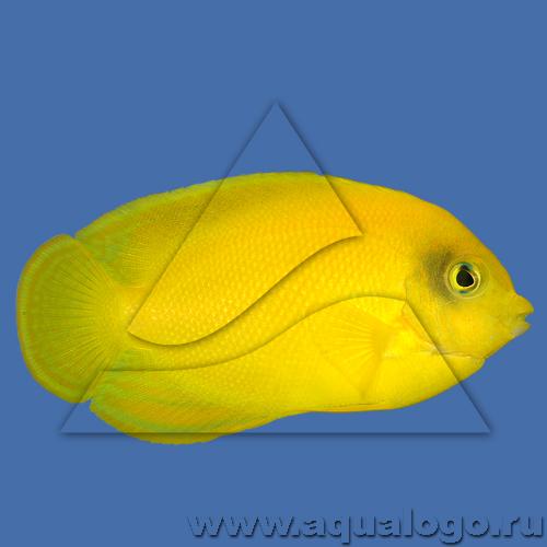 Центропиг желтый