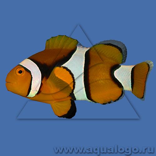 Клоун перкула (оранжевый)