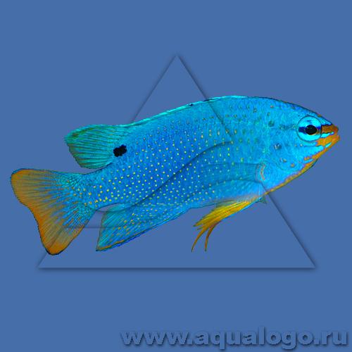 Хризиптера сапфирная - самец (оранжевохвостая)