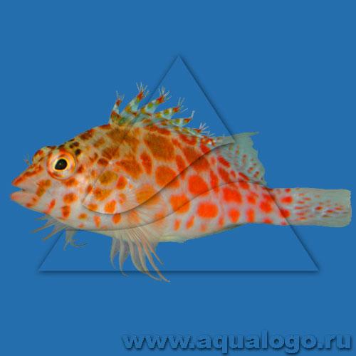 Кудрепер коралловый (Кудрепер-эльф)