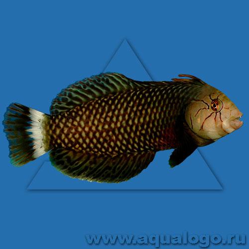 Новакулихт коричневый (Губан-дракон, Коричневая рыба-нож)