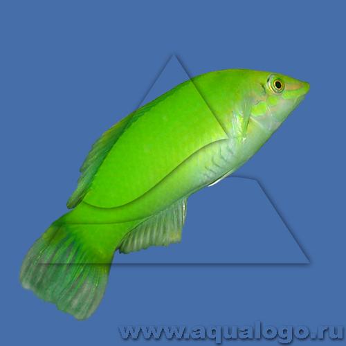 Тамарин зеленый