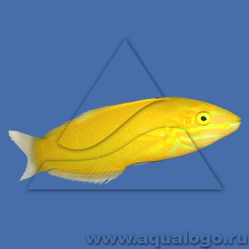 Тамарин желтый (хризус)