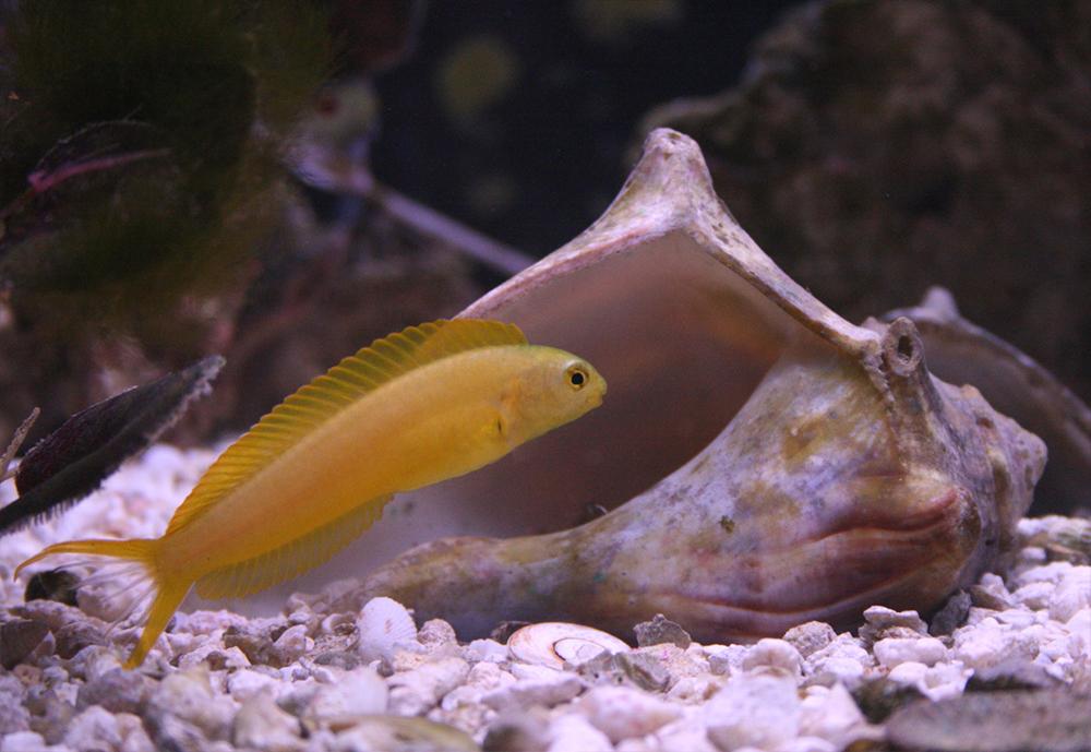 Собачка канарская желтая