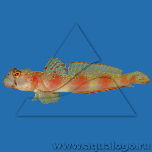 Амблиэлеотрис (Бычок-компаньон) широкополосый, Рифовый элеотрис