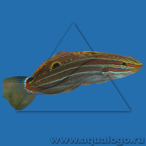 Бычок-амблигобиус гектора