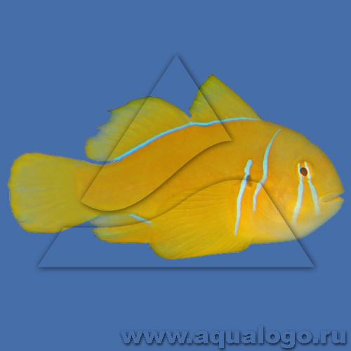 Гобиодон лимонный