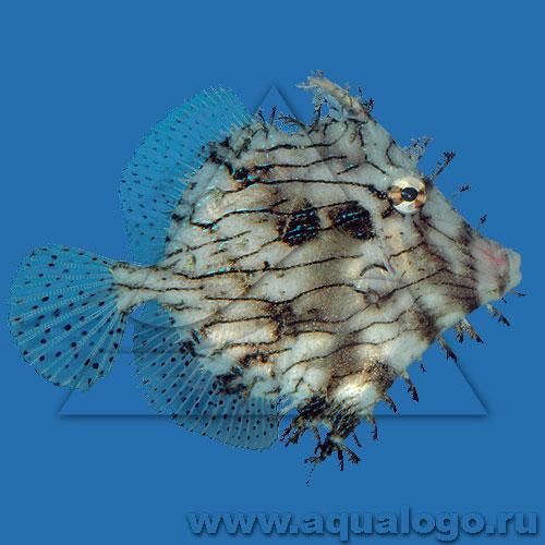Хетодерма (Рыба-лист, Тряпичник)