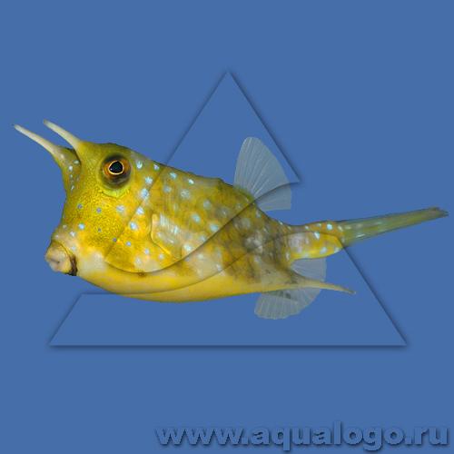 Кузовок длиннорогий желтый (Рыба-корова)