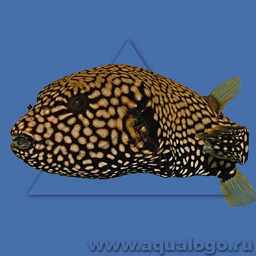 Аротрон Маппа (леопардовый, камуфляжный)