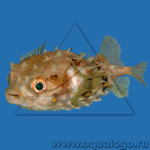 Рыба-еж короткошипая