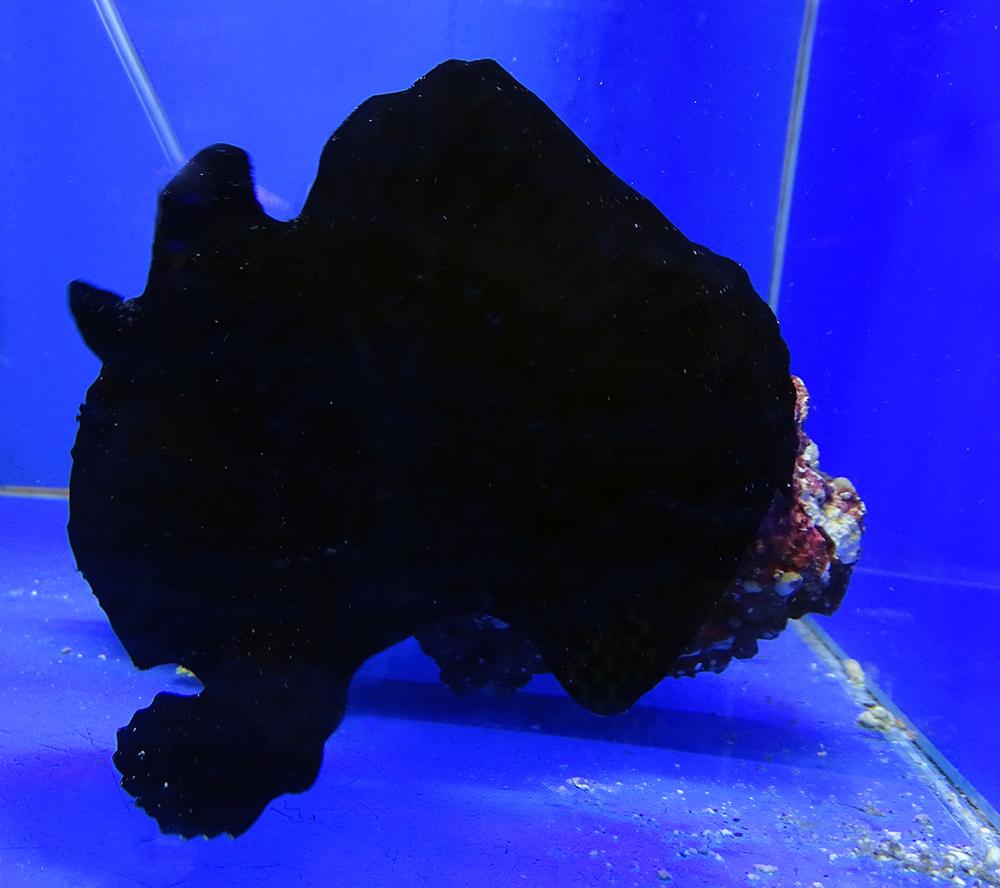 Удильщик (Бородавчатый клоун) разукрашенный черный