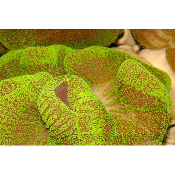 Актиния ковровая стиходактила хаддони зеленая