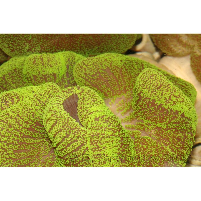 Актиния ковровая стиходактила хаддони зеленая (флюоресцирующая)