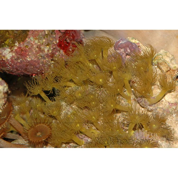 Паразоантусы желтые