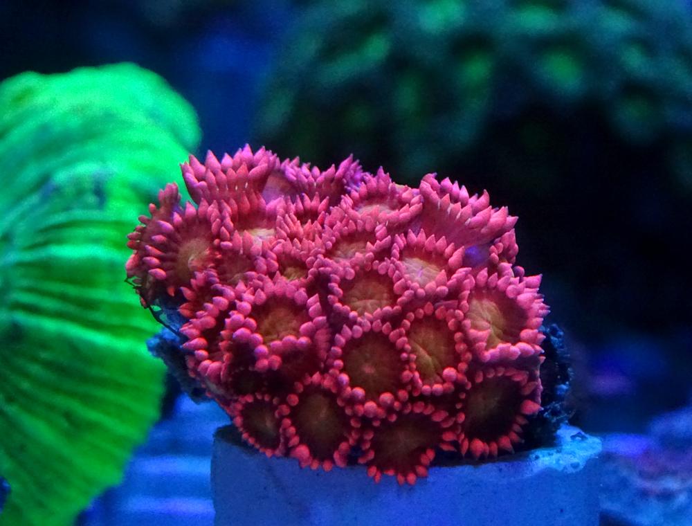 Гониопора красная (короткие полипы)