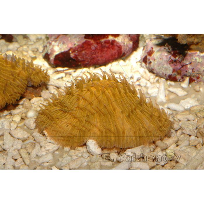 Фунгия оранжевая (Коралл грибовидный)