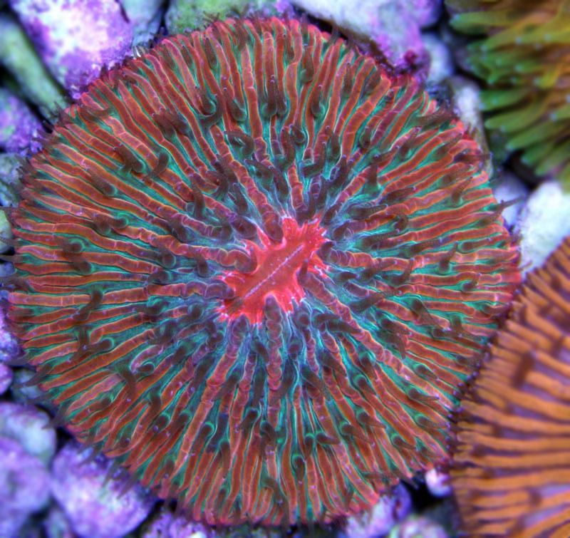 Фунгия трехцветная (Коралл грибовидный)