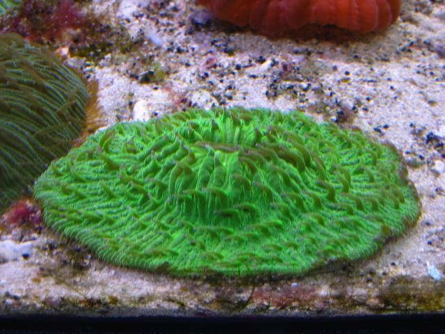 Фунгия зеленая (Коралл грибовидный)
