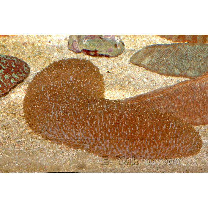 Полифиллия кротовидная (тальпина)