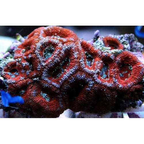 Микромусса красная