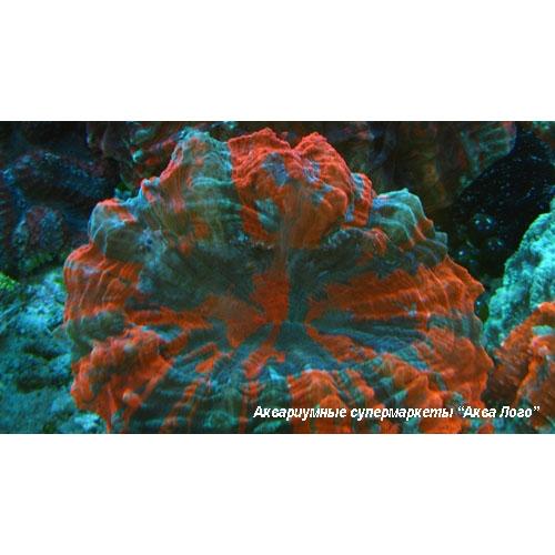 Сколимия (Акантофиллия) оранжевополосая