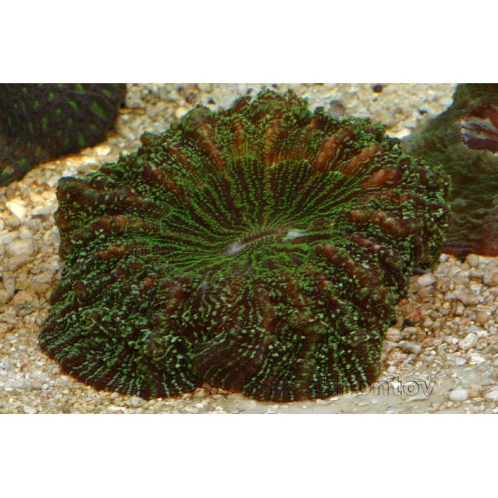 Сколимия (Акантофиллия) зеленая
