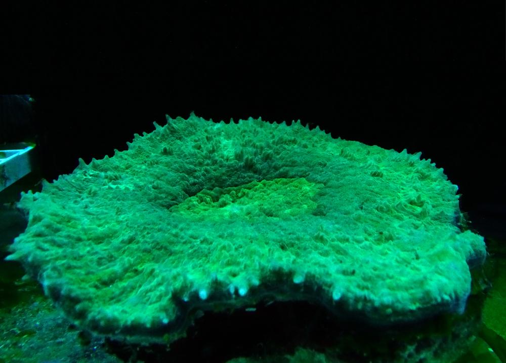 Сколимия витиенсис зеленая