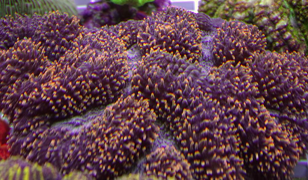 Лобофиллия оранжевая