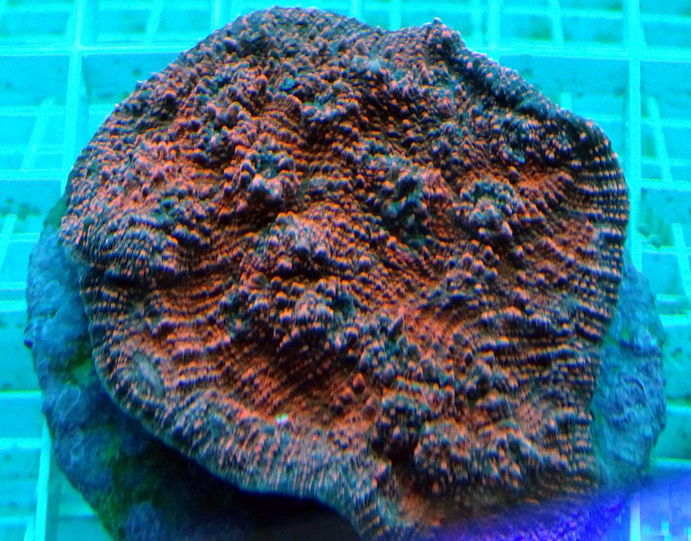 Эхинопора красная