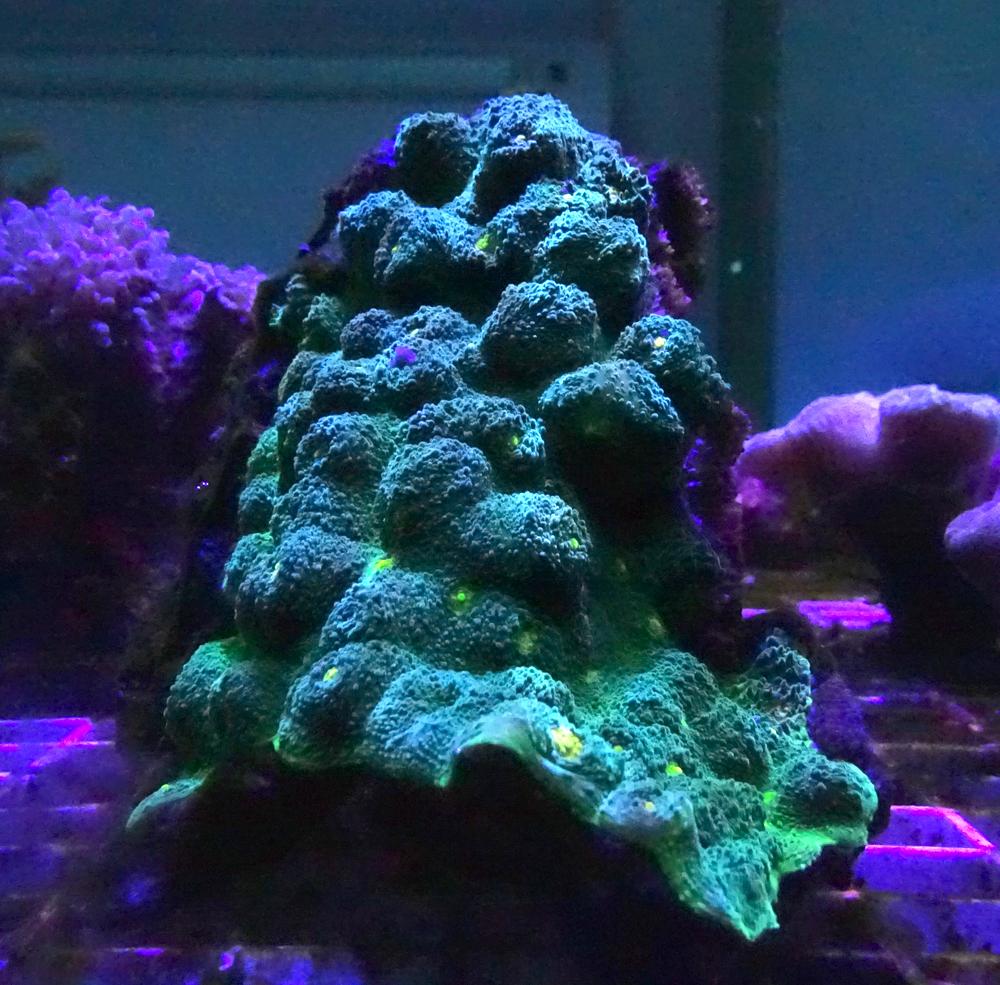 Эхинопора зеленая