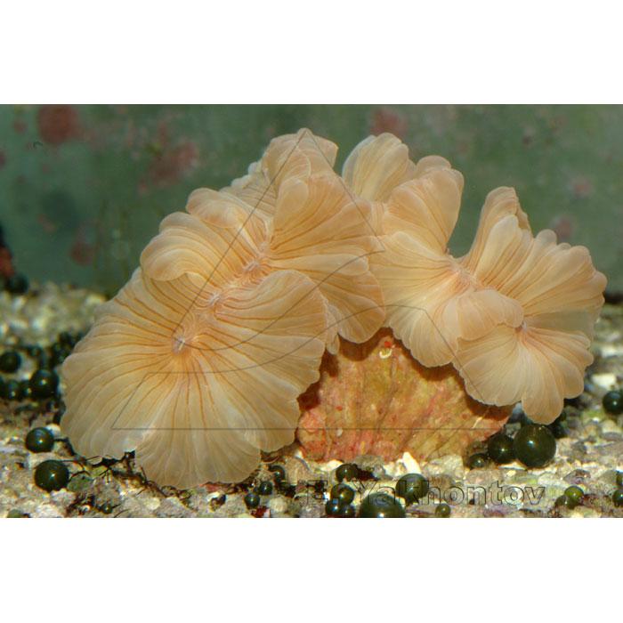 Немензофиллия турбида (Лисий коралл)