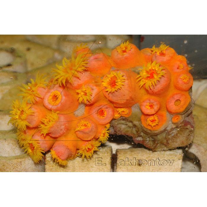 Тубастрея оранжевая (желтая)