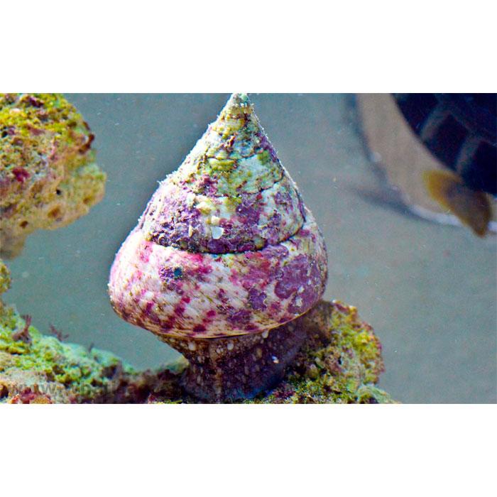 Улитка-водорослеед турбо