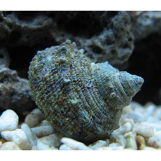 Улитка-водорослеед турбо сетозус