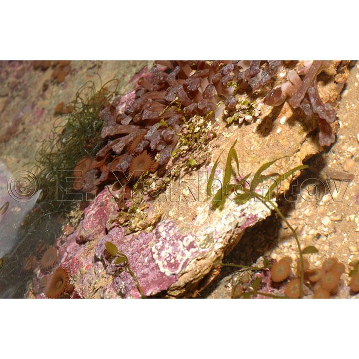 Камни живые с полипами - Индонезия Grade A (кг.)