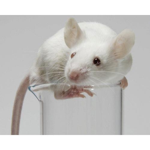 Мышь живая лабораторная