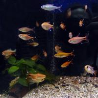Тетры, обзор популярной группы рыб