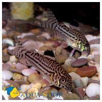 Сомы коридорасы аквариумные рыбки